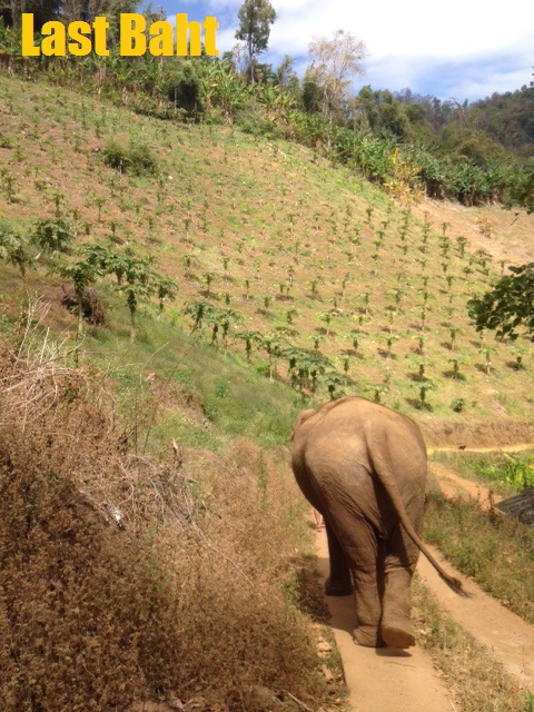 an elephant walking in Chiang Mai, Thailand