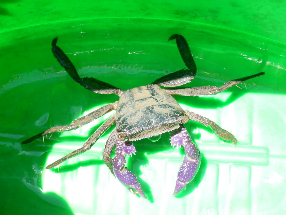 Fresh water crab in coconut village before being released