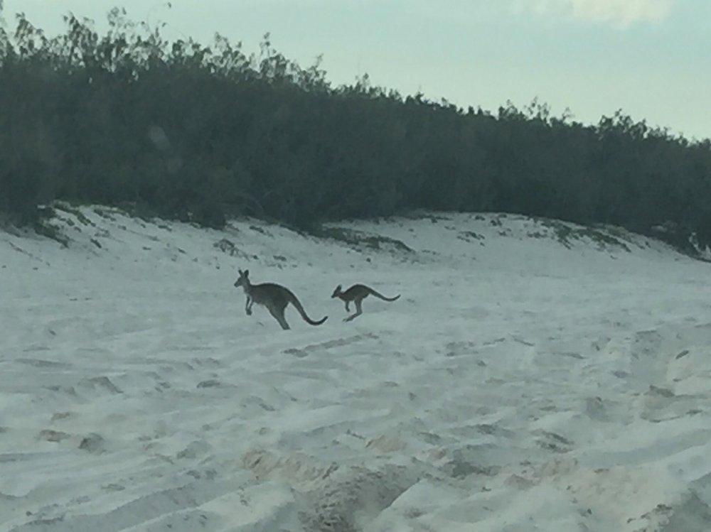 Beach Roos on Bribie