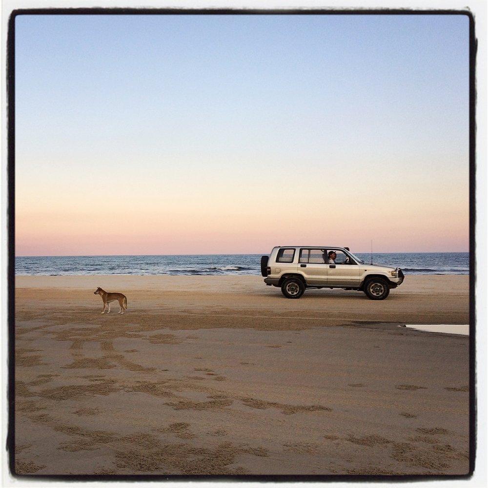 Dingo on 75 Mile Beach