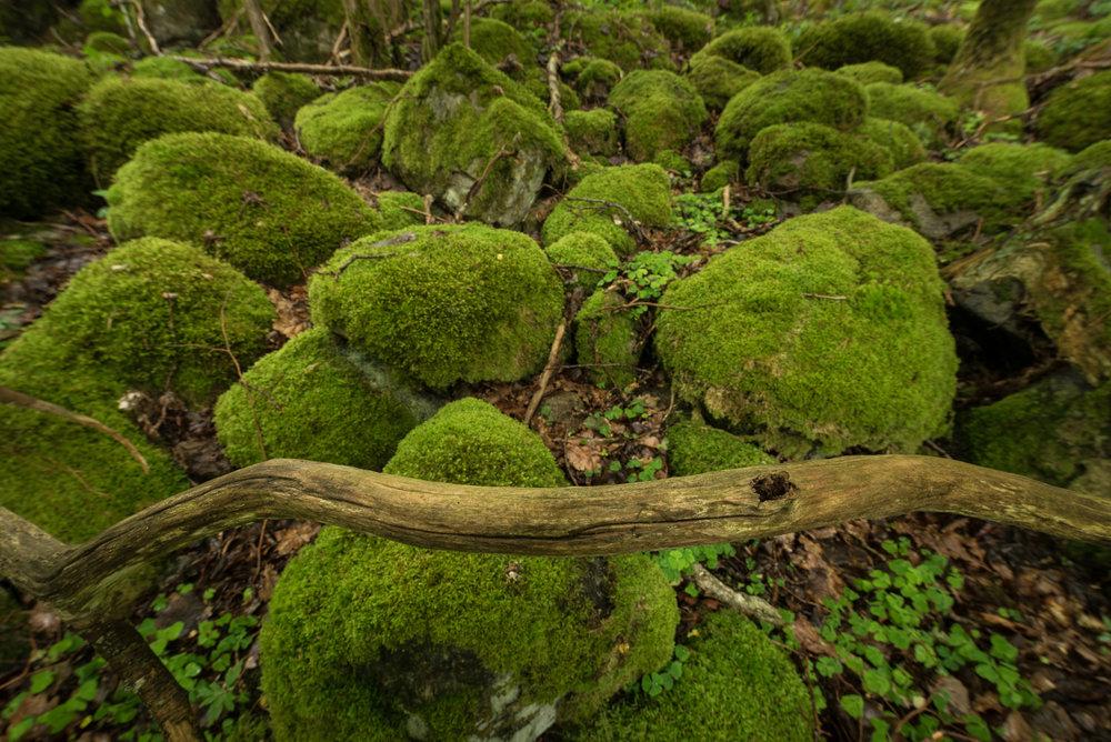 Norwegian Forest-002.jpg