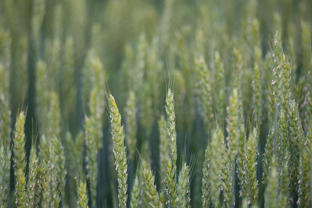 Barley-_DSC2695-©Bjørn Joachimsen.jpg
