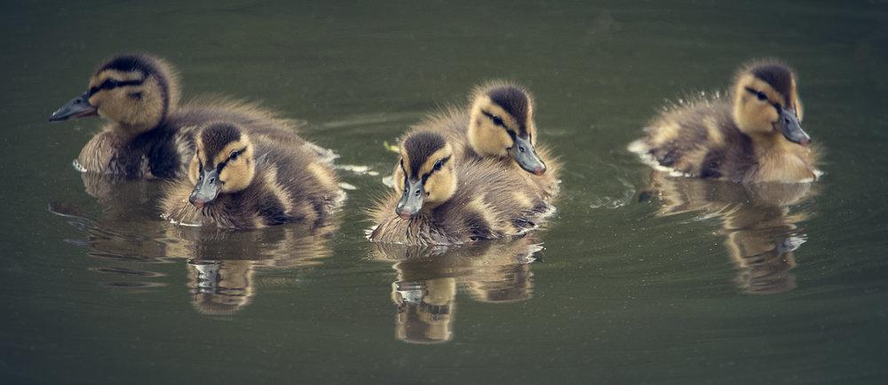 Ducks-DSC_1893-Edit-©Bjørn Joachimsen.jpg
