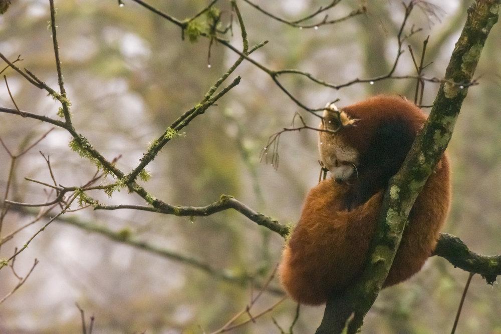 Høyt oppe i trærne finner du røde pandaer sovende. ©Bjørn Joachimsen.