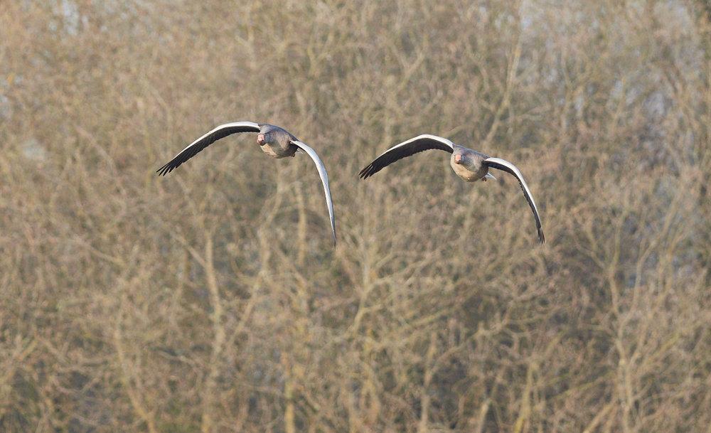 Geese formation.jpg