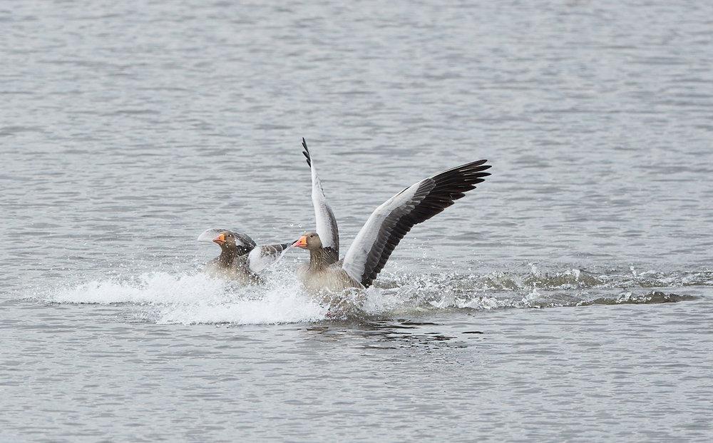 Geese landing.jpg
