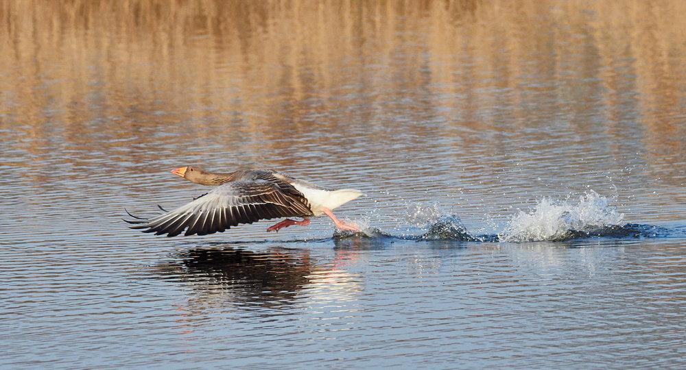 Goose takeoff.jpg