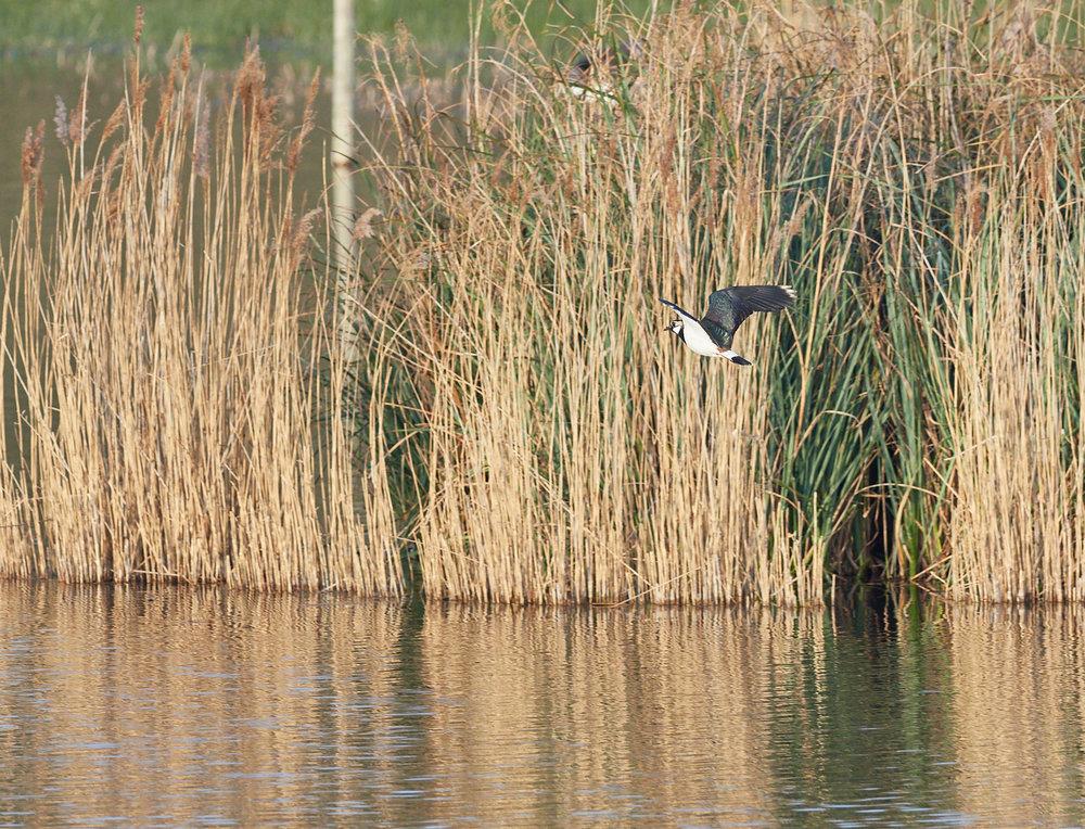 Lapwing before reeds.jpg