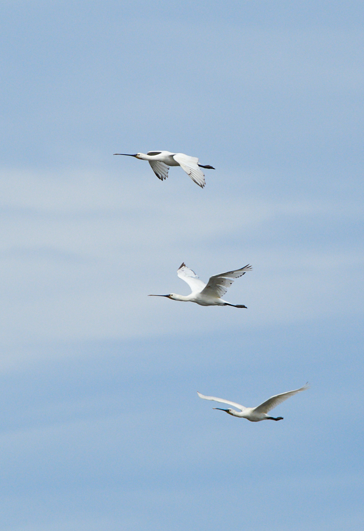 Getting your spoonbills in a row.jpg