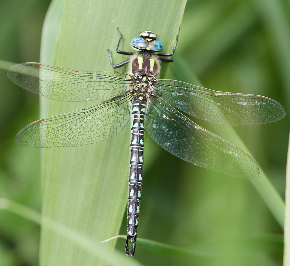 Hairy Dragonfly.jpg