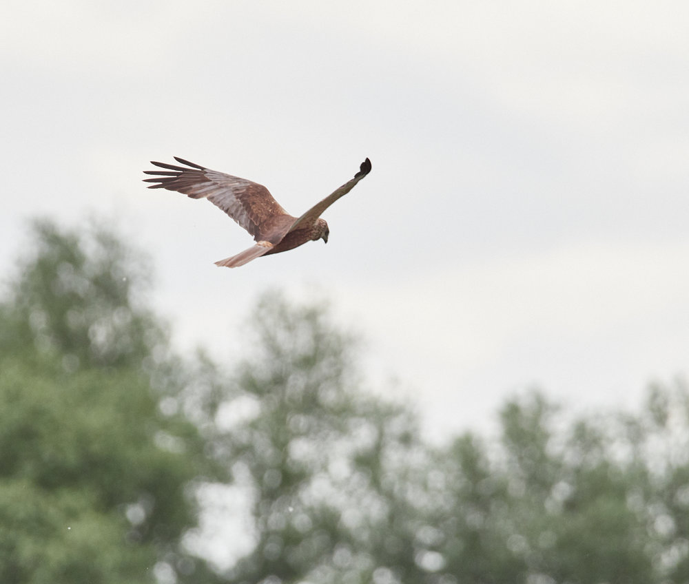 Marsh Harrier.jpg