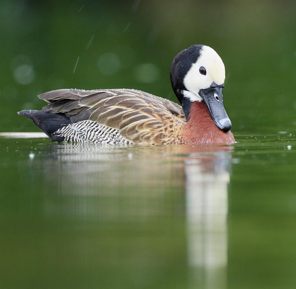 Duck3 in the rain1400x1050 sRGB 1.jpg
