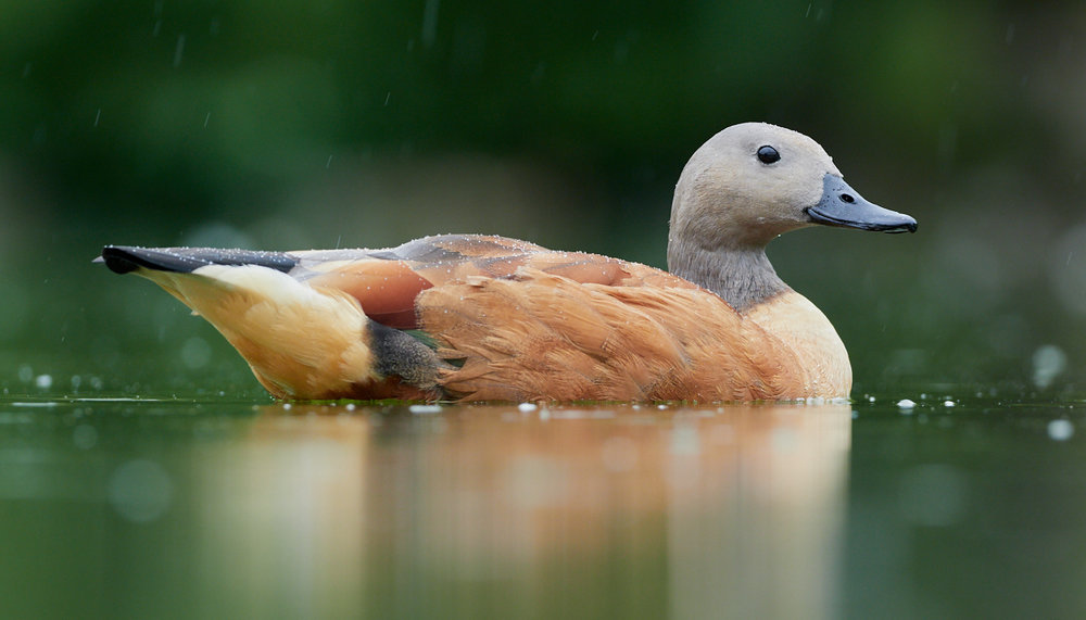 Duck3 in the rain1400x1050 sRGB.jpg