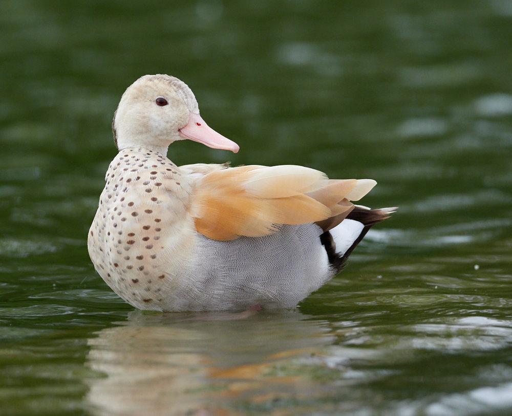 Duck1400x1050 sRGB 3.jpg