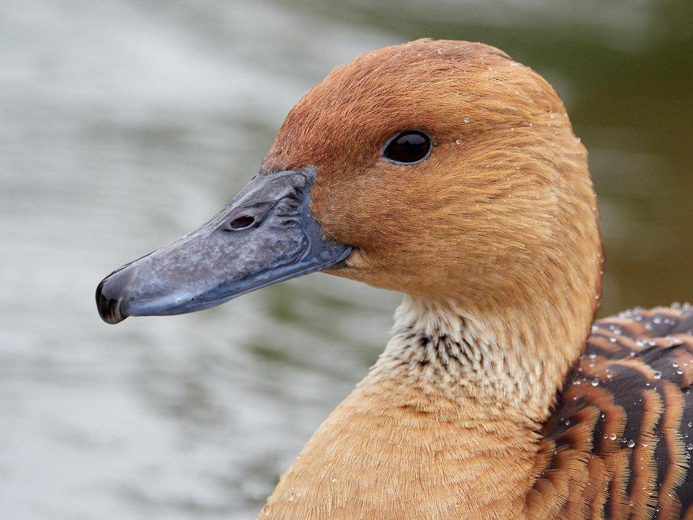 Duck11400x1050 sRGB.jpg