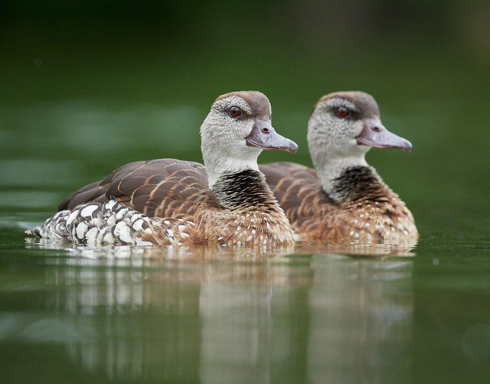 Ducks1400x1050 sRGB 1.jpg