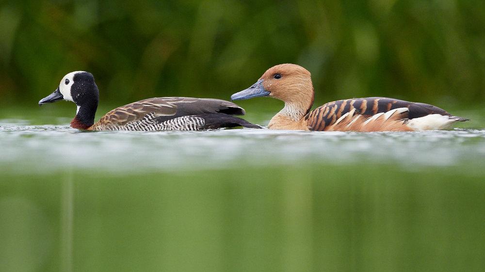 Ducks1400x1050 sRGB.jpg