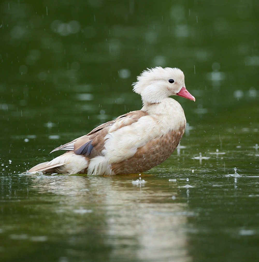 Duck1400x1050 sRGB 16.jpg