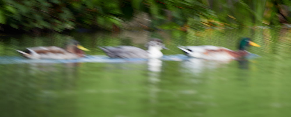 Duck focus1600x1200 sRGB 2.jpg
