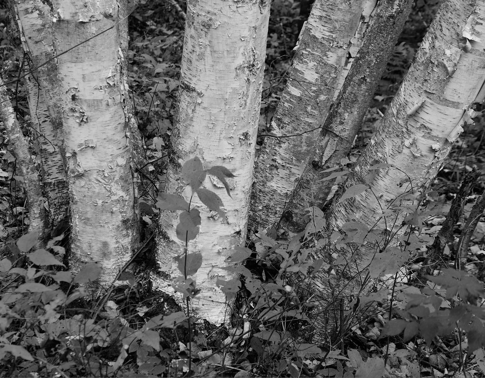 La Mauricie birch1600x1200 sRGB 1.jpg