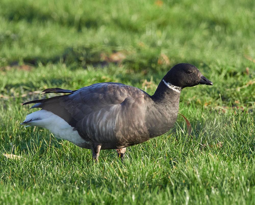 Brent goose feeding1600x1200 sRGB.jpg