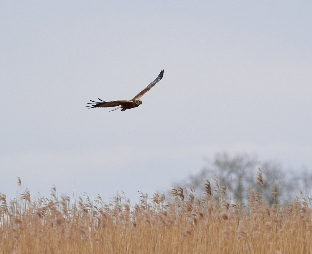 Marsh harrier1600x1200 sRGB 3.jpg