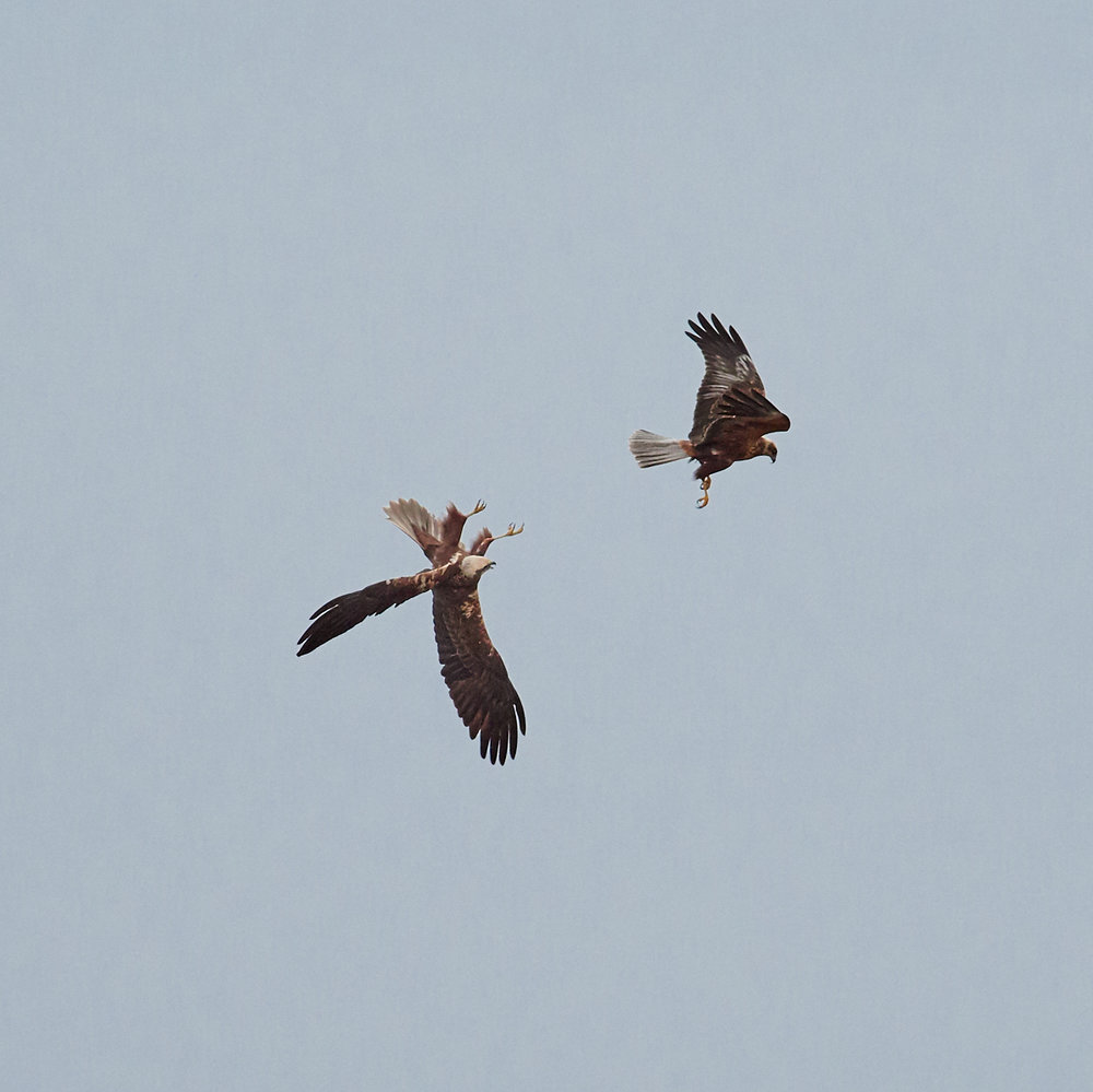 Marsh harriers1600x1200 sRGB 2.jpg
