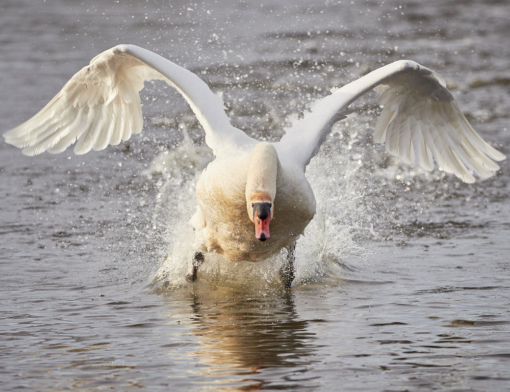 Swan takeoff1600x1200 sRGB 1.jpg