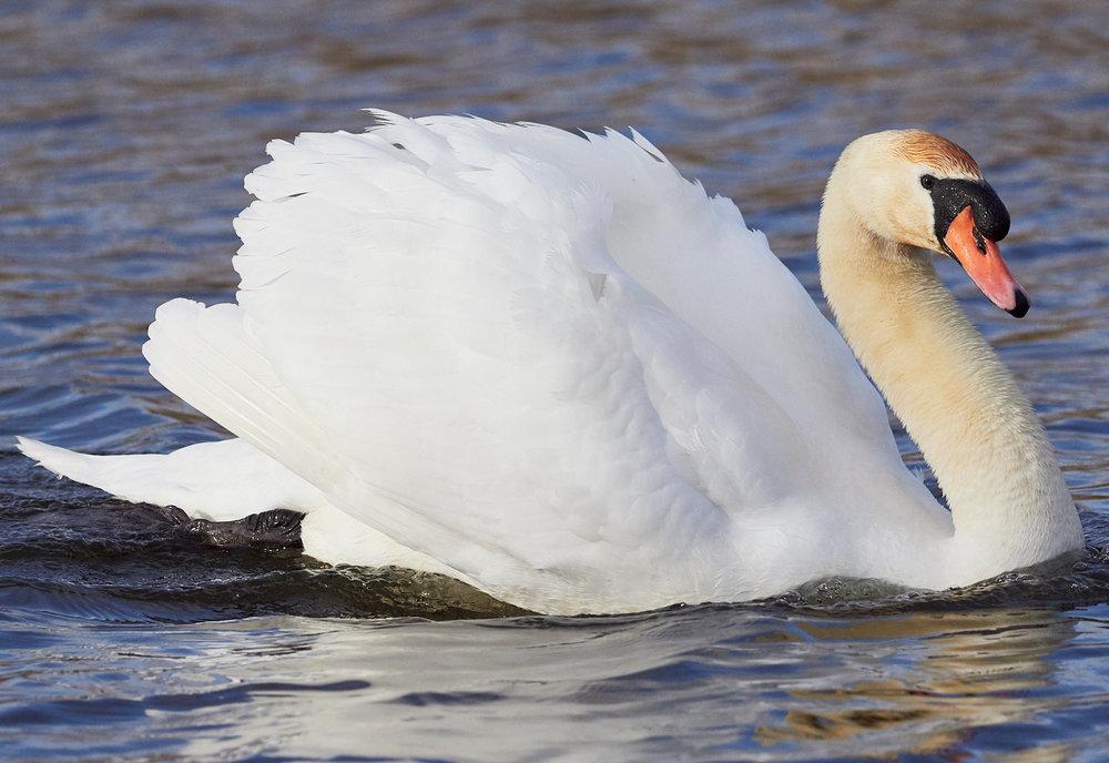Swan1600x1200 sRGB.jpg