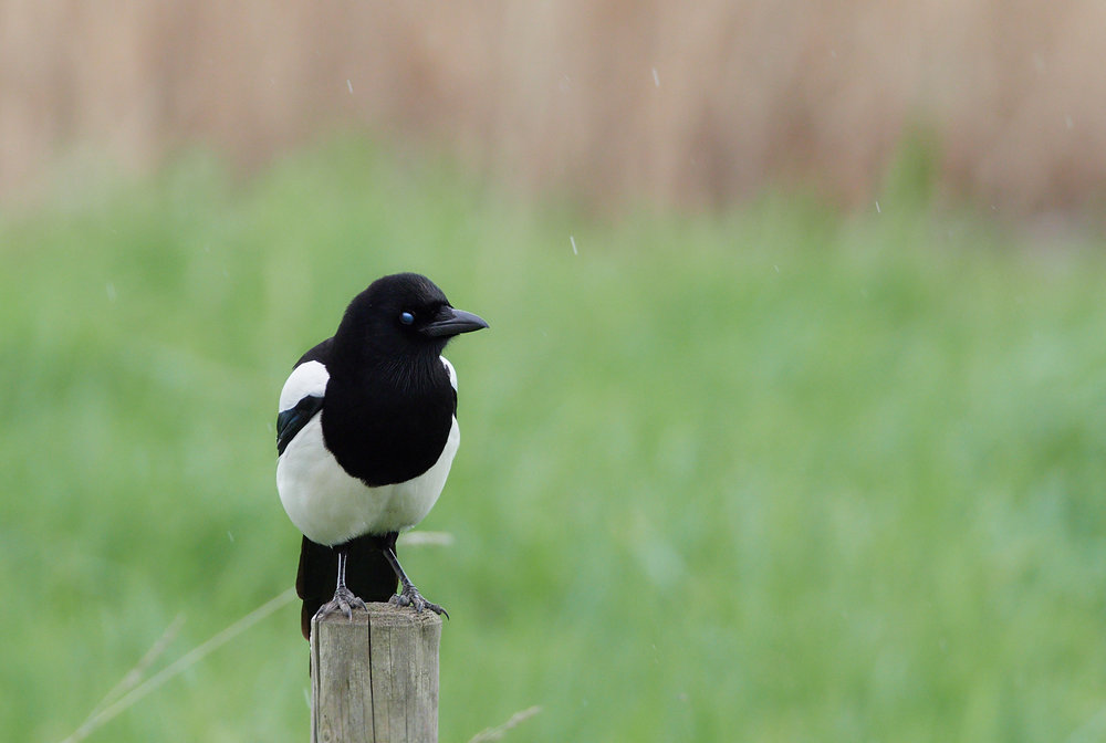 Magpie in the rain1600x1200 sRGB.jpg