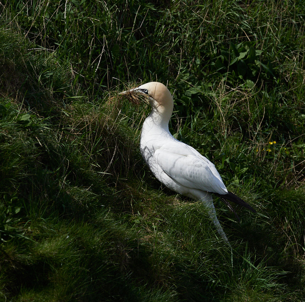 Gannet collecting grass1600x1200 sRGB 1.jpg