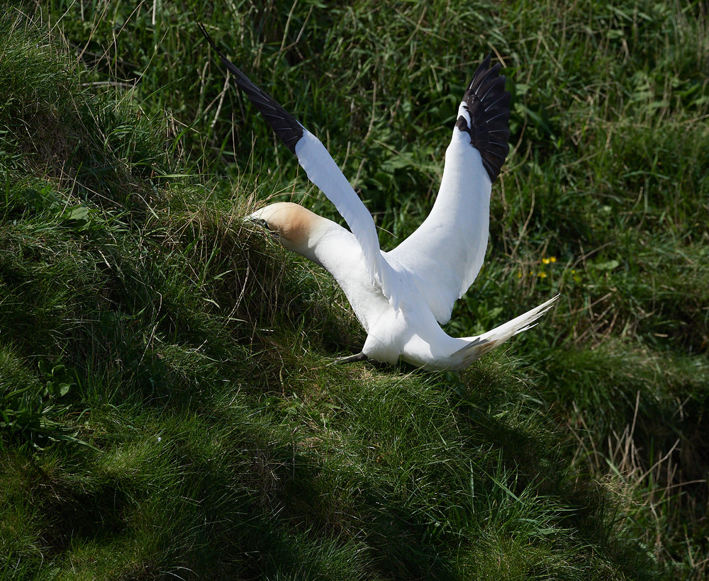 Gannet collecting grass1600x1200 sRGB 2.jpg
