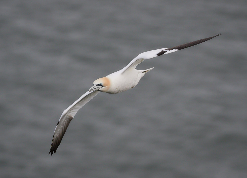 Gannet in flight1600x1200 sRGB.jpg
