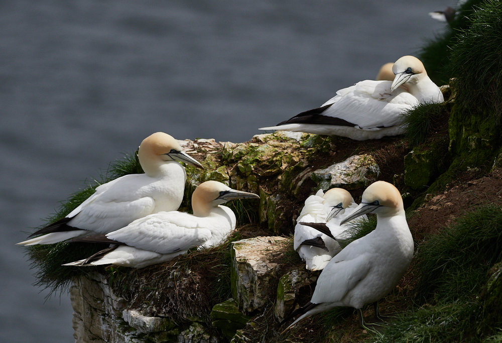 Gannet neighbourhood1600x1200 sRGB.jpg