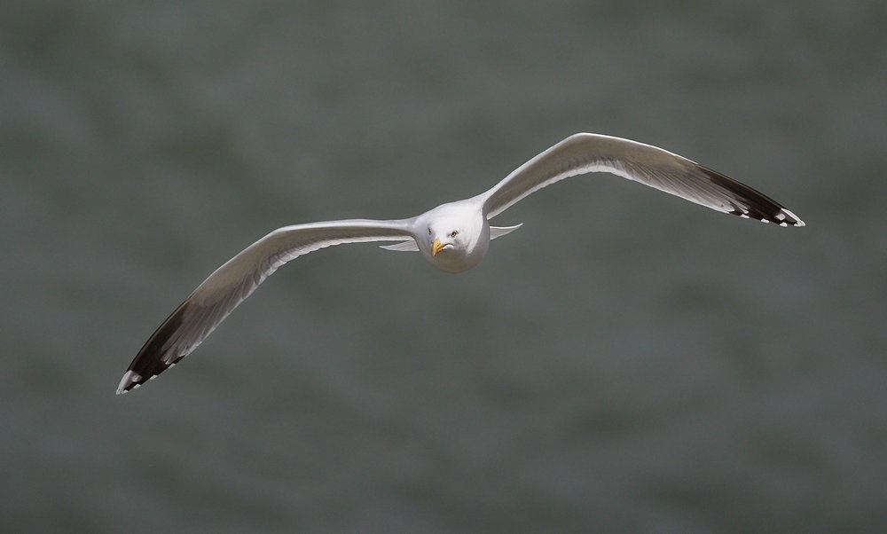 Herring gull in flight1600x1200 sRGB.jpg