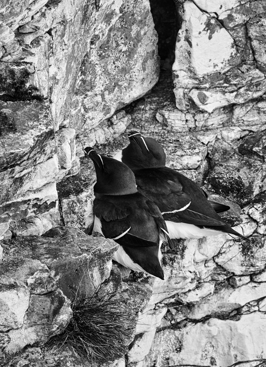 Razorbill patterns1600x1200 sRGB.jpg