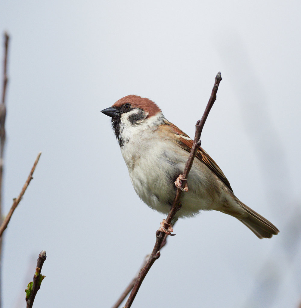 Tree sparrow1600x1200 sRGB 3.jpg