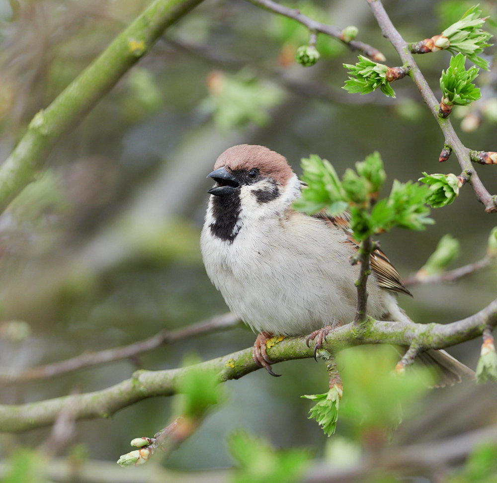 Tree sparrow1600x1200 sRGB.jpg