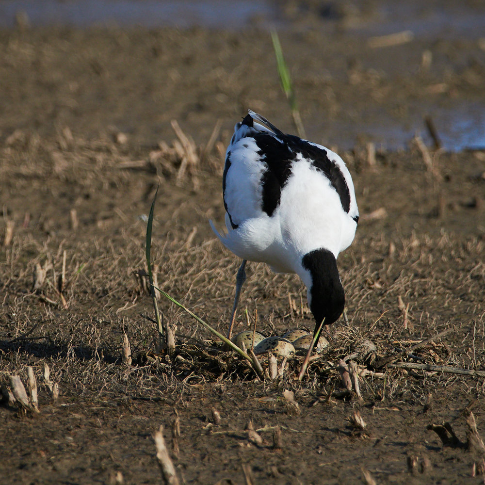 Avocet on the nest1600x1200 sRGB 2.jpg