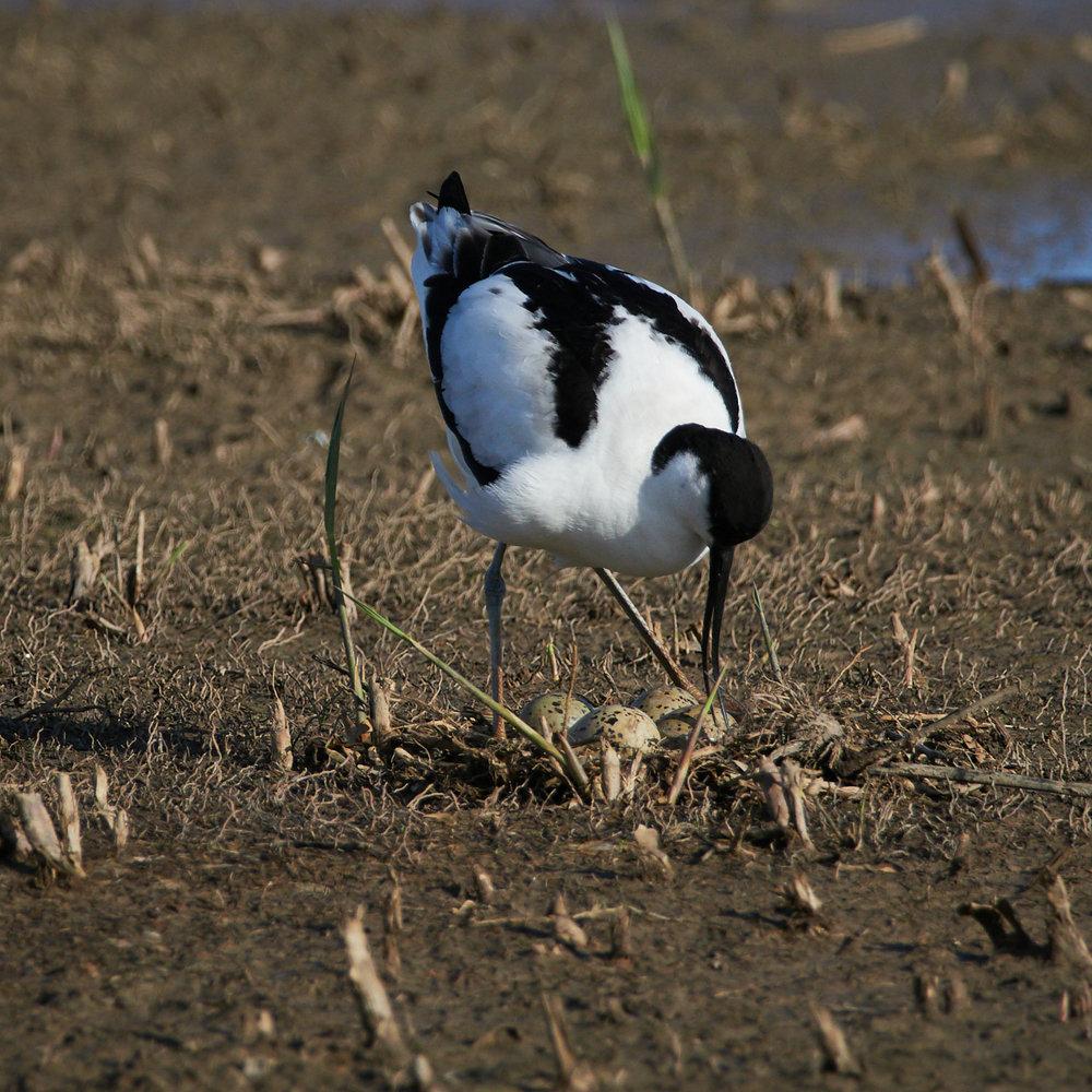 Avocet on the nest1600x1200 sRGB 3.jpg