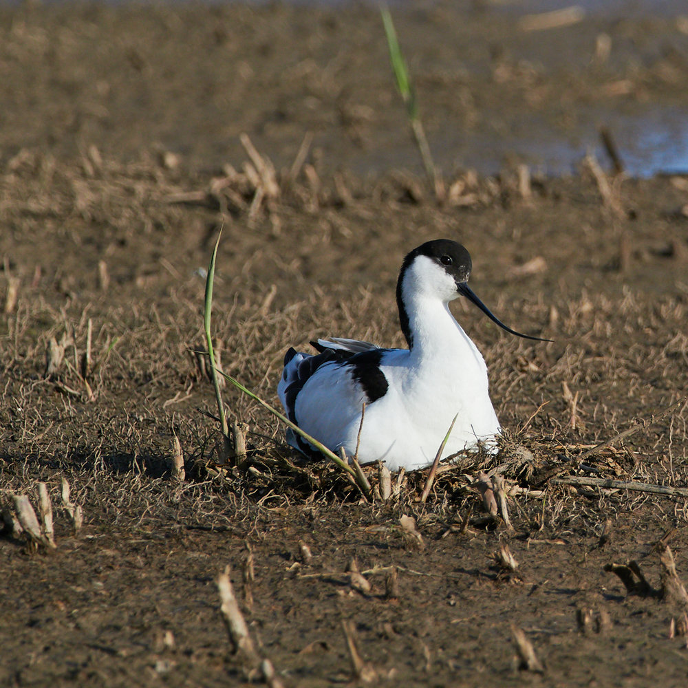 Avocet on the nest1600x1200 sRGB 4.jpg