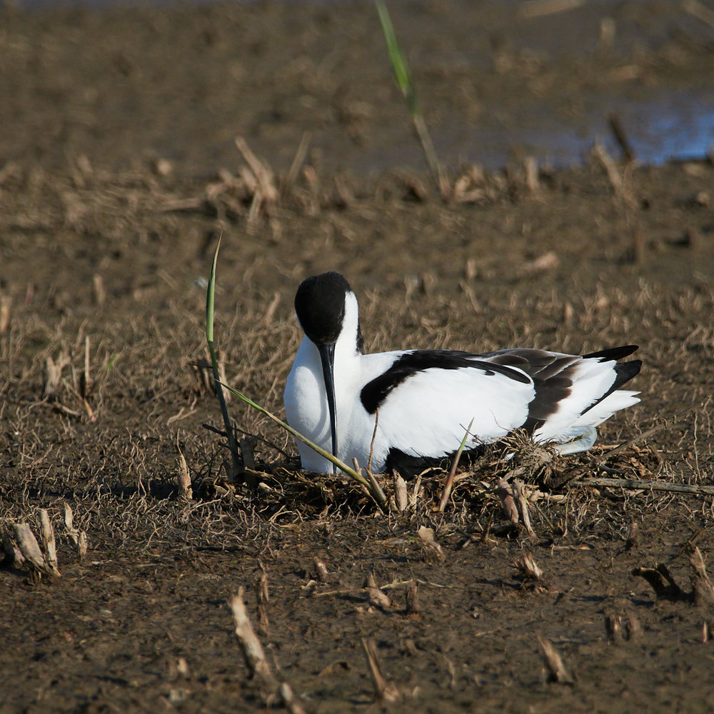 Avocet on the nest1600x1200 sRGB.jpg