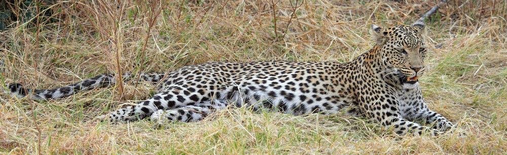 Long leopard 1600x1200 sRGB.jpg