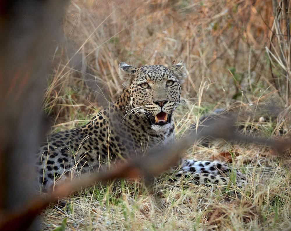 Recuperating leopard 1600x1200 sRGB.jpg