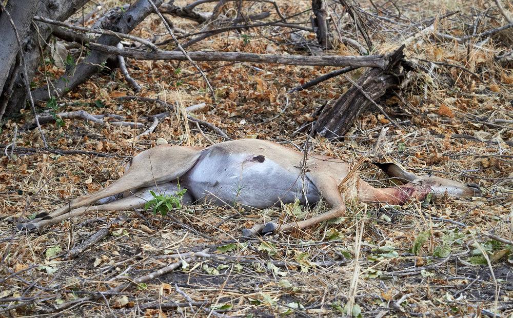 Dead impala 2 1600x1200 sRGB.jpg