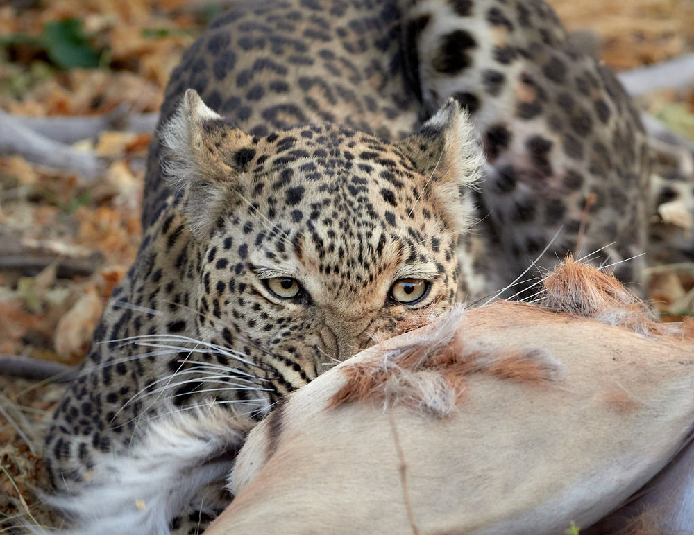 Chewing leopard 1600x1200 sRGB.jpg