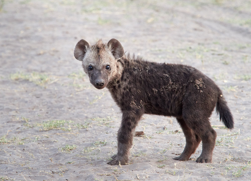 Baby spotted hyena 1600x1200 sRGB.jpg