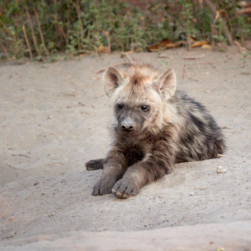 Hyena cub 1600x1200 sRGB.jpg