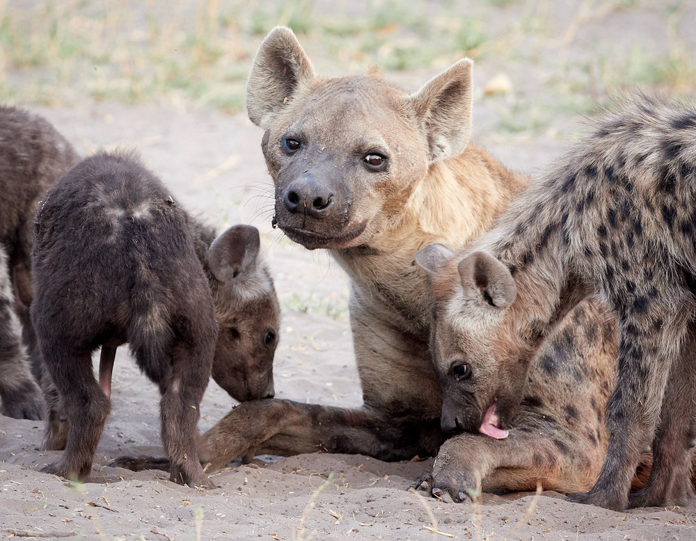 Mother and Hyena cubs 1600x1200 sRGB.jpg