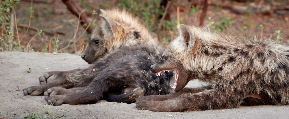 Yawning Hyena cubs 1600x1200 sRGB.jpg